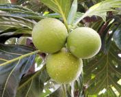 Le fruit de l'arbre à pain
