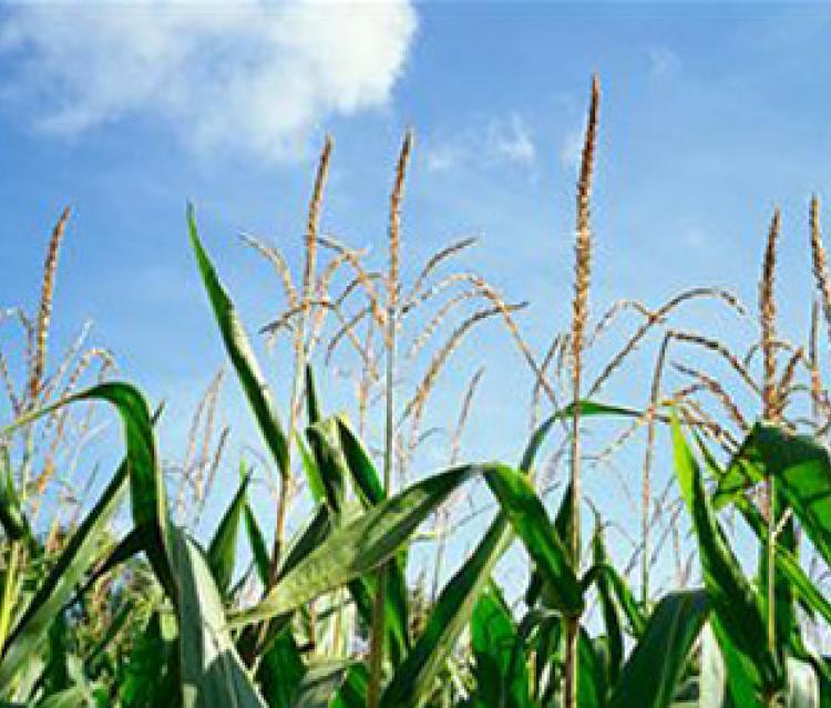 Le maïs, un mexicain de 7000 ans